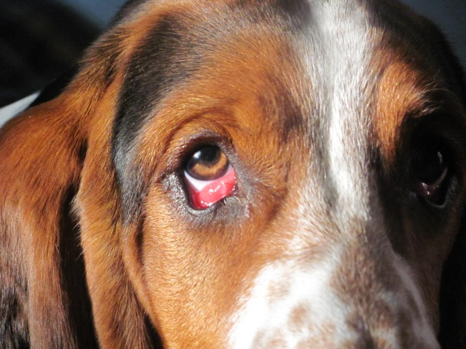 Dog Swollen Red Eye