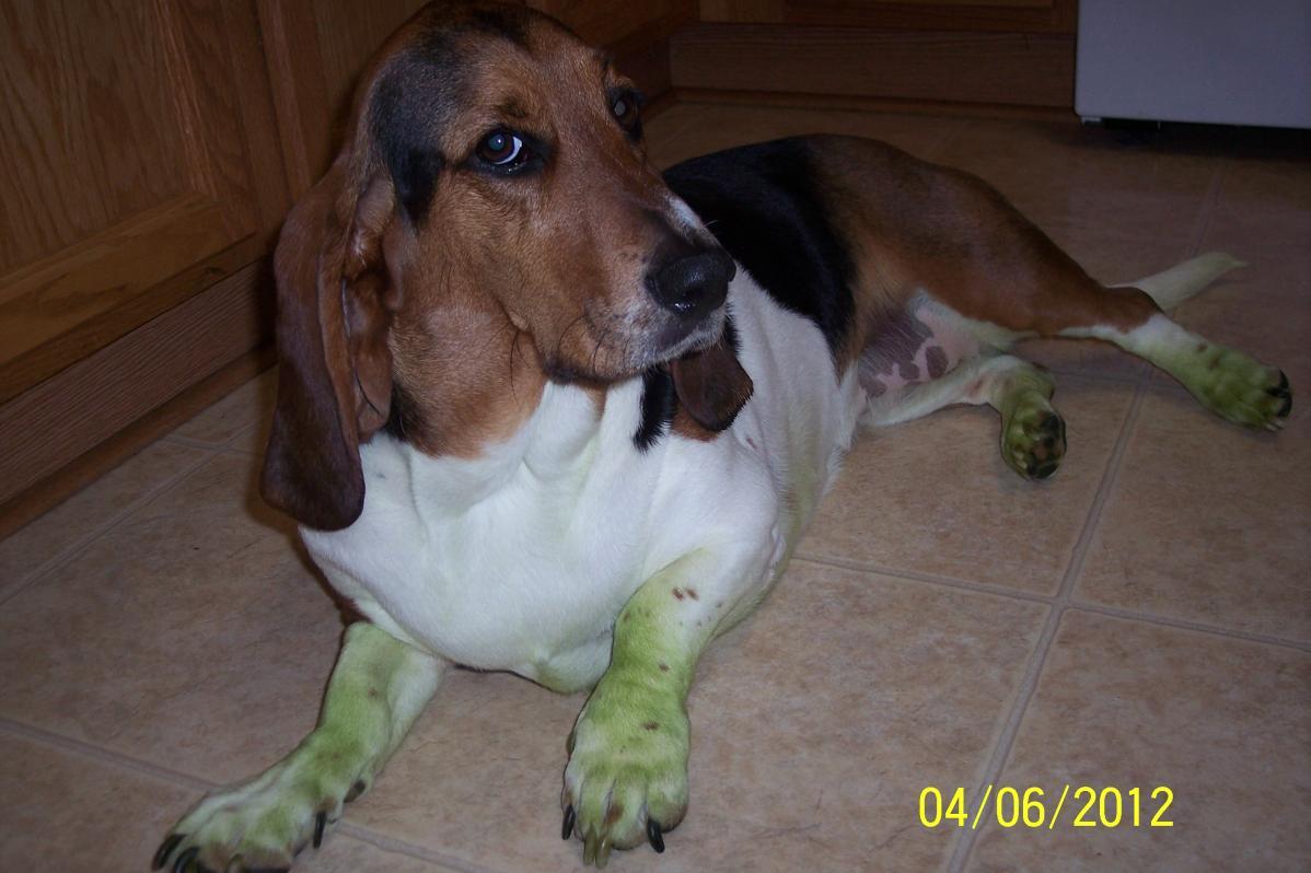 basset hound puppy running wwwpixsharkcom images