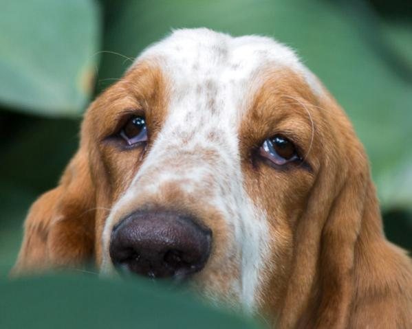 How to train a Basset who has no food incentive?-20170625_japanese-garden_063-2.jpg