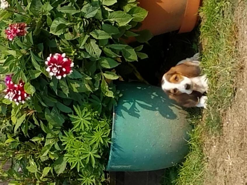 New to site and basset hound puppies-20170819_160011_1505793560194.jpg
