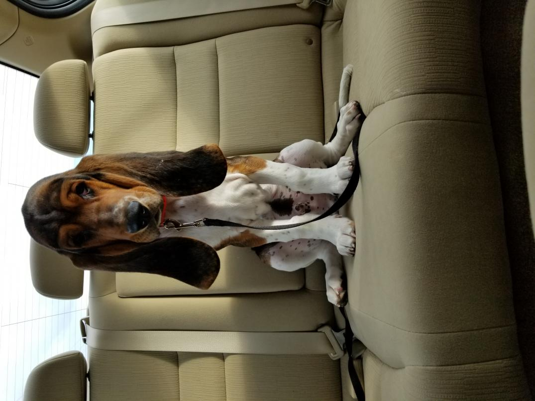 Is my dog a purebred basset or a beagle hound?-20180723_182736.jpg