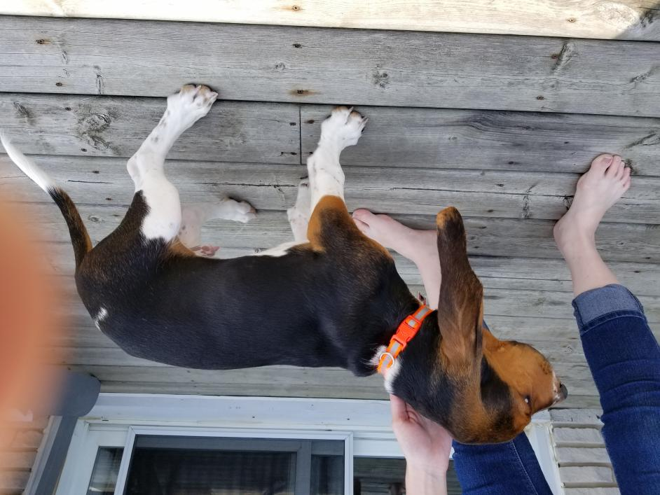 Is my dog a purebred basset or a beagle hound?-20180805_123547.jpg