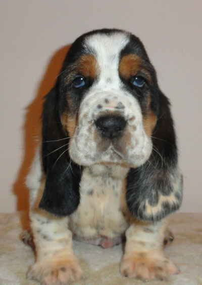 What are some of the best names out there for a male Basset?-2wboyb53-5-.jpg