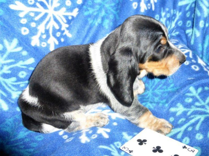 Basset Bleu puppies .... Bleu color coming in-3-p.jpg