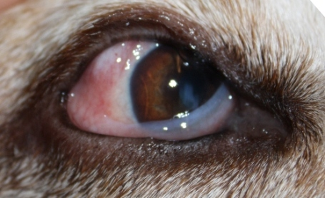 Bloodshot In One Of My Dogs Eye