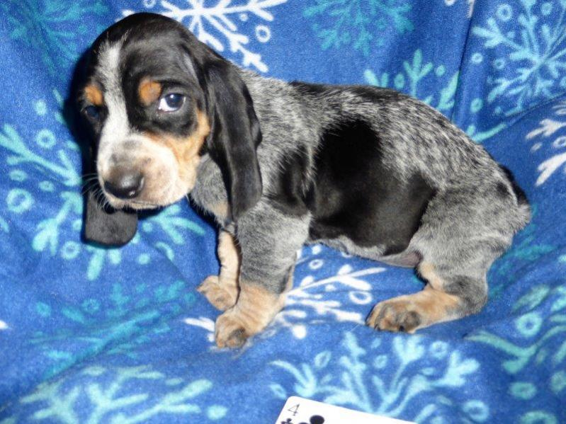 Basset Bleu puppies .... Bleu color coming in-4-p.jpg