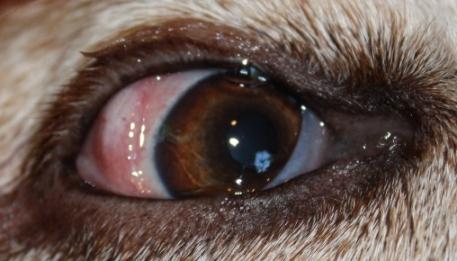 Dog Eye Specialist Uk