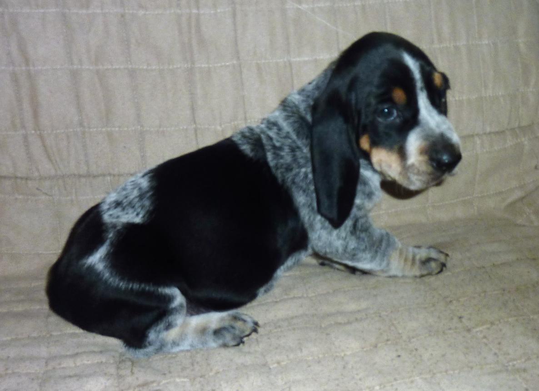 basset bleu de gascogne pups 5 weeks old basset hounds