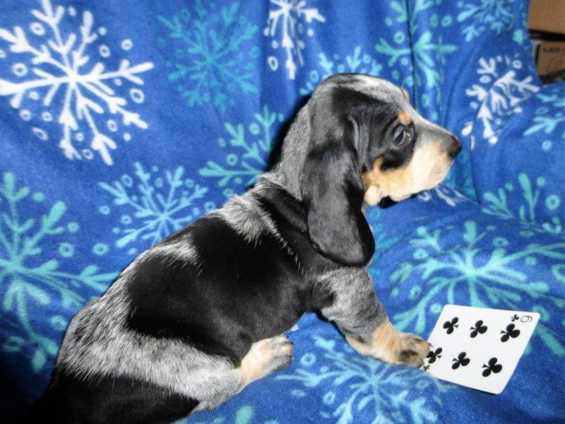 Basset Bleu puppies .... Bleu color coming in-6-2p.jpg