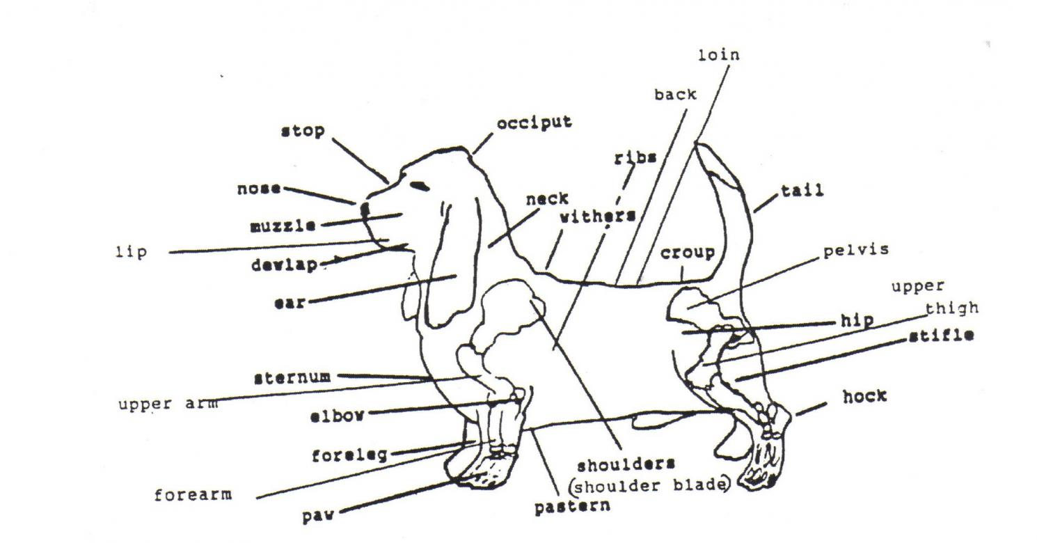 Fat Neck? - Basset Hounds: Basset Hound Dog Forums
