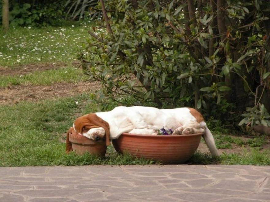 Bassets can sleep anywhere-basset-sleeping.jpg