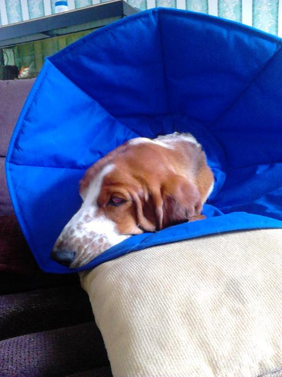 Resultado de imagen para basset hound plastic cone