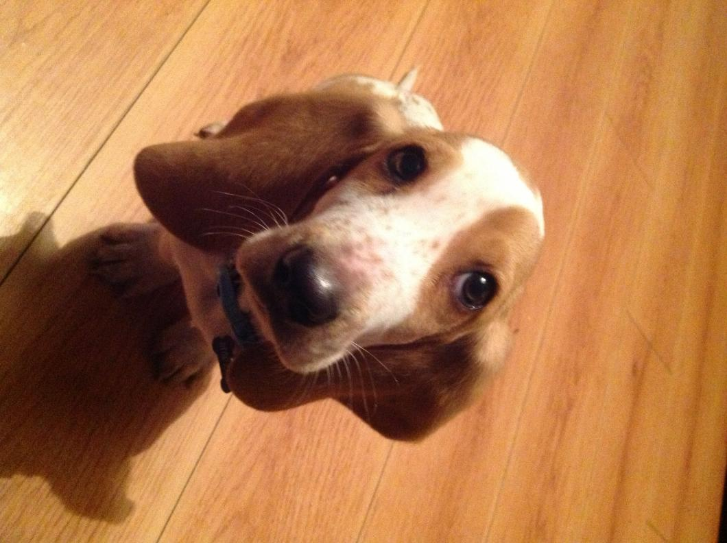 Show me your Basset!!!-image.jpg