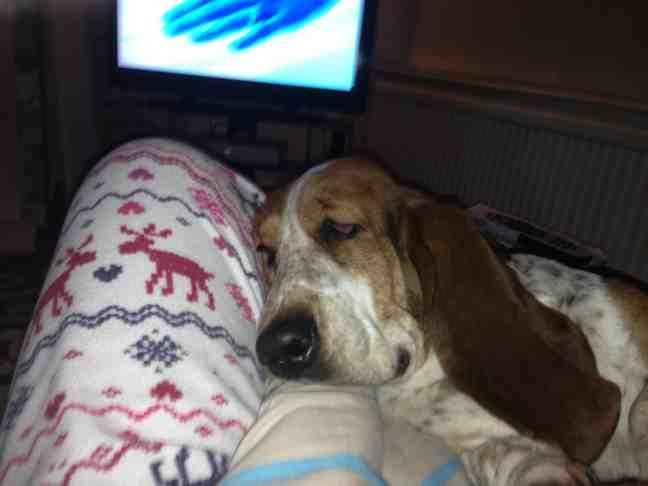 Is anyone else obsessed with their Basset!?-imageuploadedbypetguide1361127224.283220.jpg