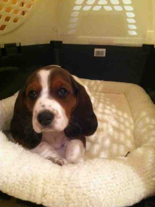 Our new hush puppy, Emma!-imageuploadedbypg-free1352768058.074999.jpg
