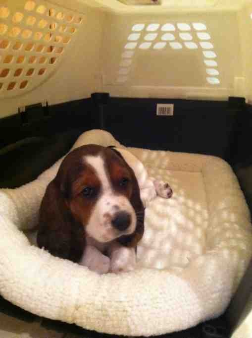 Our new hush puppy, Emma!-imageuploadedbypg-free1352768069.607002.jpg