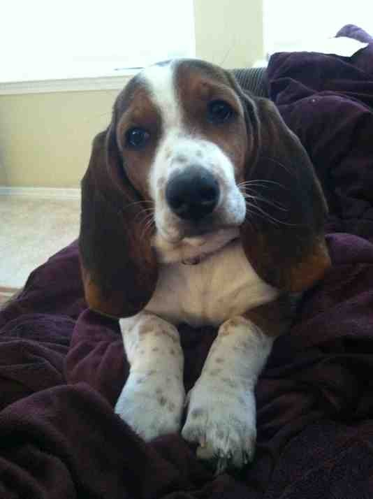Show off your famous moping basset!!-imageuploadedbypg-free1356573870.157215.jpg