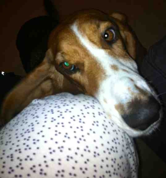 Show off your famous moping basset!!-imageuploadedbypg-free1356588511.561026.jpg