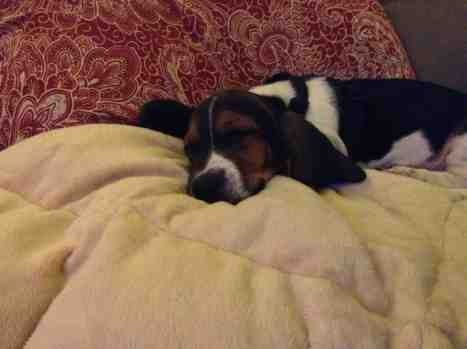 Show off your famous moping basset!!-imageuploadedbypg-free1357323978.866051.jpg