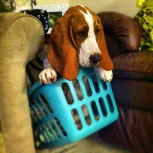 Show me your Basset!!!-imageuploadedbypg-free1357359755.611279.jpg