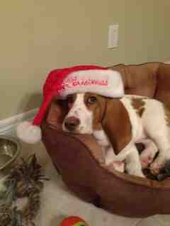 Show off your famous moping basset!!-imageuploadedbypg-free1357392257.187628.jpg