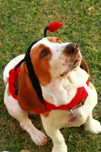 Show me your Basset!!!-imageuploadedbypg-free1357394473.864683.jpg