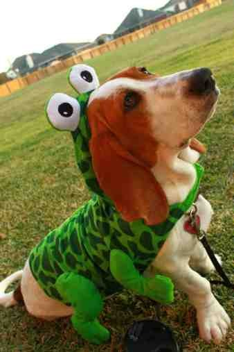 Show me your Basset!!!-imageuploadedbypg-free1357394503.739969.jpg