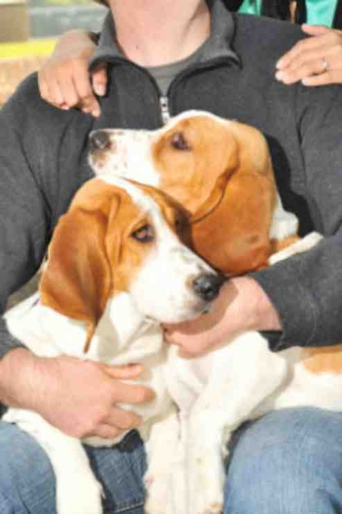 Show me your Basset!!!-imageuploadedbypg-free1357394666.383285.jpg