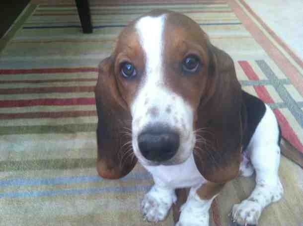 Show me your Basset!!!-imageuploadedbypg-free1357412699.670552.jpg