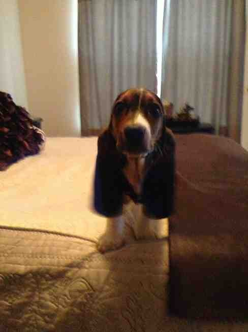 Show me your Basset!!!-imageuploadedbypg-free1357413235.605870.jpg