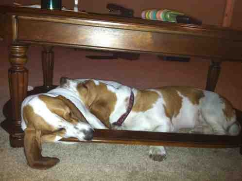 Show off your sleepy bassets!-imageuploadedbypg-free1358906279.270015.jpg