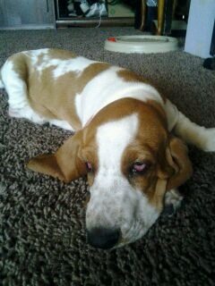 Show off your famous moping basset!!-imageuploadedbypg-free1359326852.948540.jpg