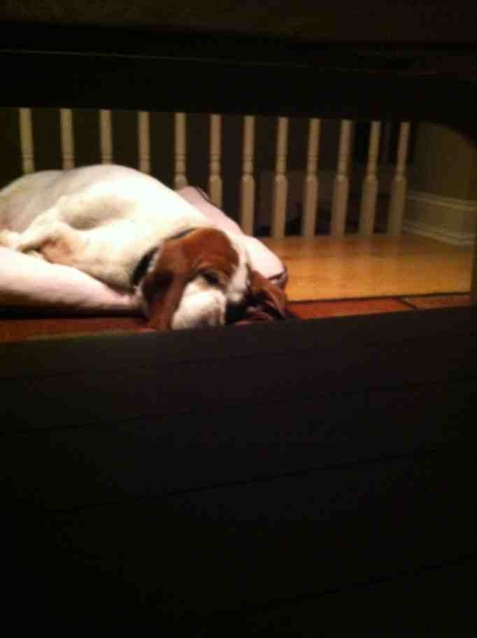 Show off your sleepy bassets!-imageuploadedbypg-free1374370940.599437.jpg