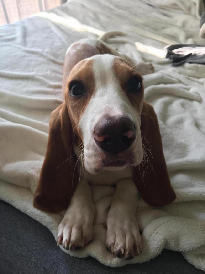 Do I have a full blood Basset or Beagle mix?-img_1654_1506377676413.jpg