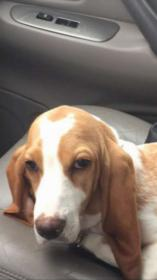 Do I have a full blood Basset or Beagle mix?-img_1695_1506377780291.jpg