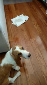 Do I have a full blood Basset or Beagle mix?-img_1707_1506378060008.jpg
