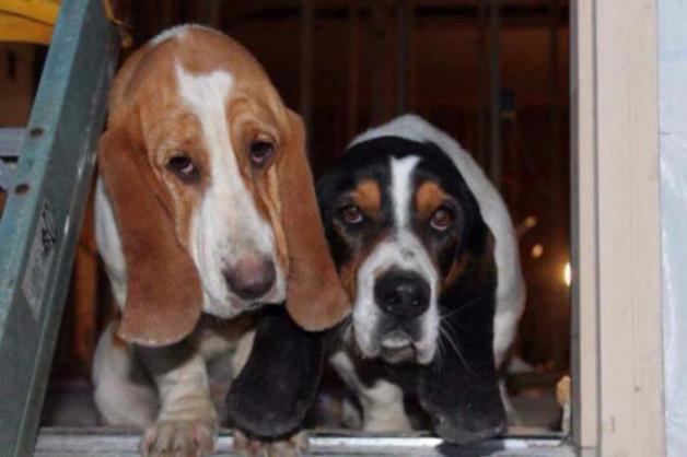 Do I have a full blood Basset or Beagle mix?-img_1714_1506518386815.jpg