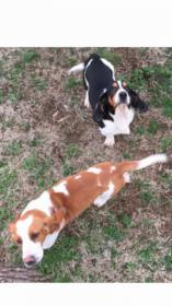 Do I have a full blood Basset or Beagle mix?-img_1716_1506518373558.jpg