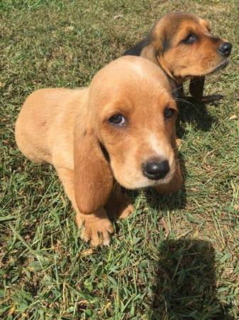 Can a Basset Hound be this color?-img_1789_1508462420975.jpg