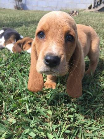 Can a Basset Hound be this color?-img_1790_1508462440031.jpg