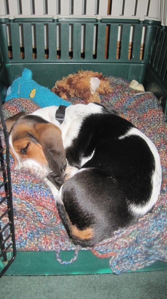 Elwood 12 1/2 weeks old. - Basset Hounds: Basset Hound Dog ...