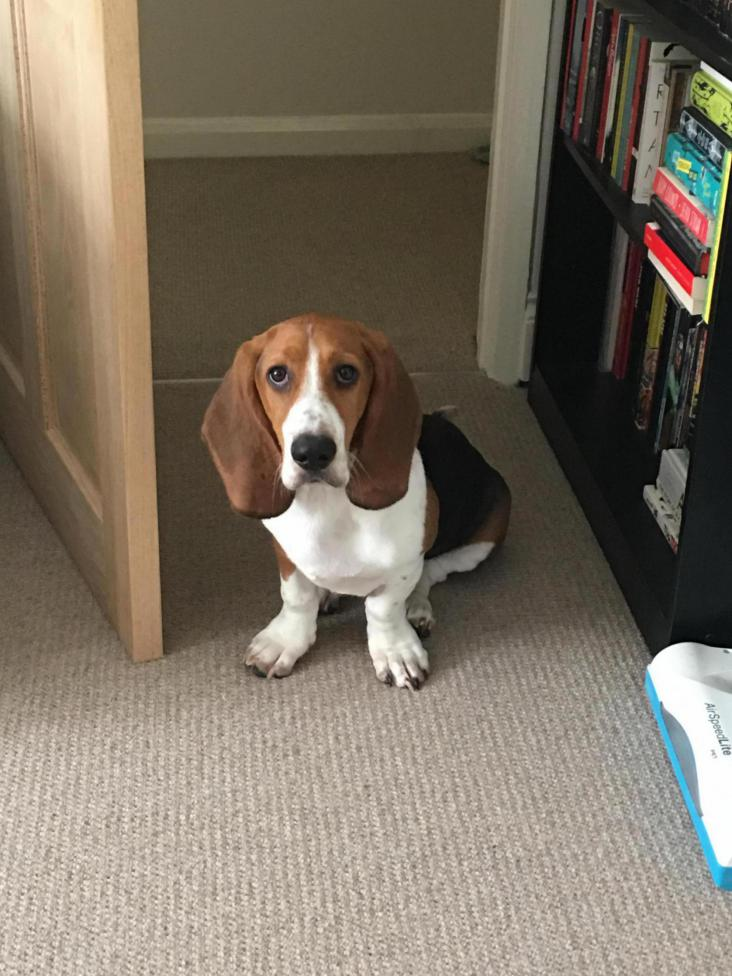 Front paws on a five month old puppy - Basset Hounds: Basset