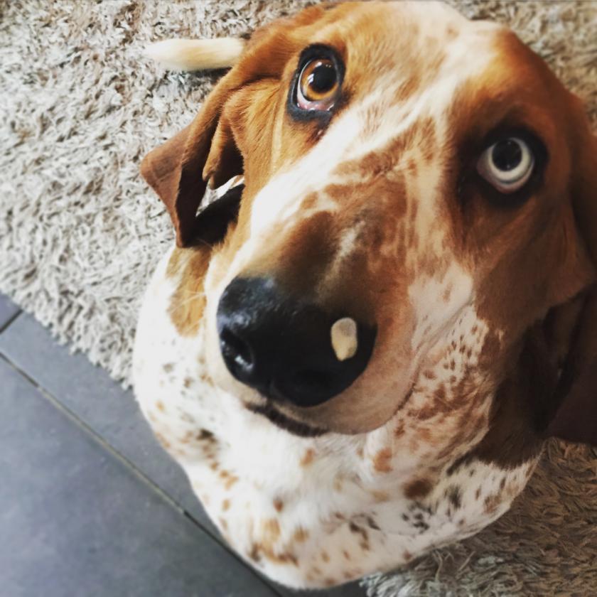 blue eyed basset basset hounds basset hound dog forums