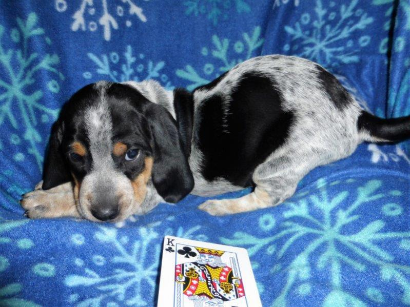 Basset Bleu puppies .... Bleu color coming in-king-p.jpg