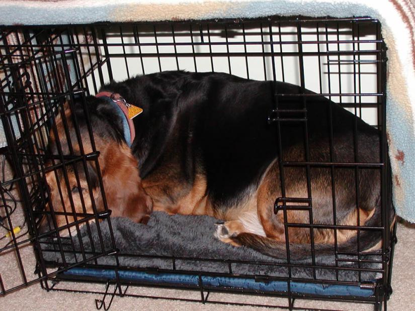 Crate Training For A New Puppy Basset Hounds Basset Hound Dog Forums