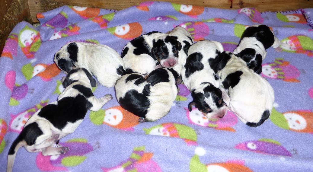 Basset Bleu de Gascogne pups 6 born 3-6-17-p1000570.jpg