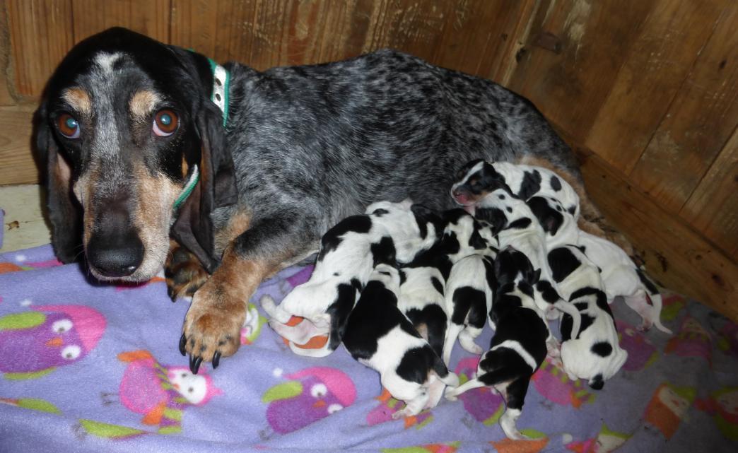 Basset Bleu de Gascogne pups 6 born 3-6-17-p1000572.jpg