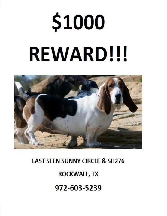 LOST Basset 00 Reward in Texas-peggy.jpg