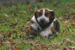 Puppies_and_fall_leaves_123.JPG