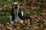 Puppies_and_fall_leaves_163.JPG